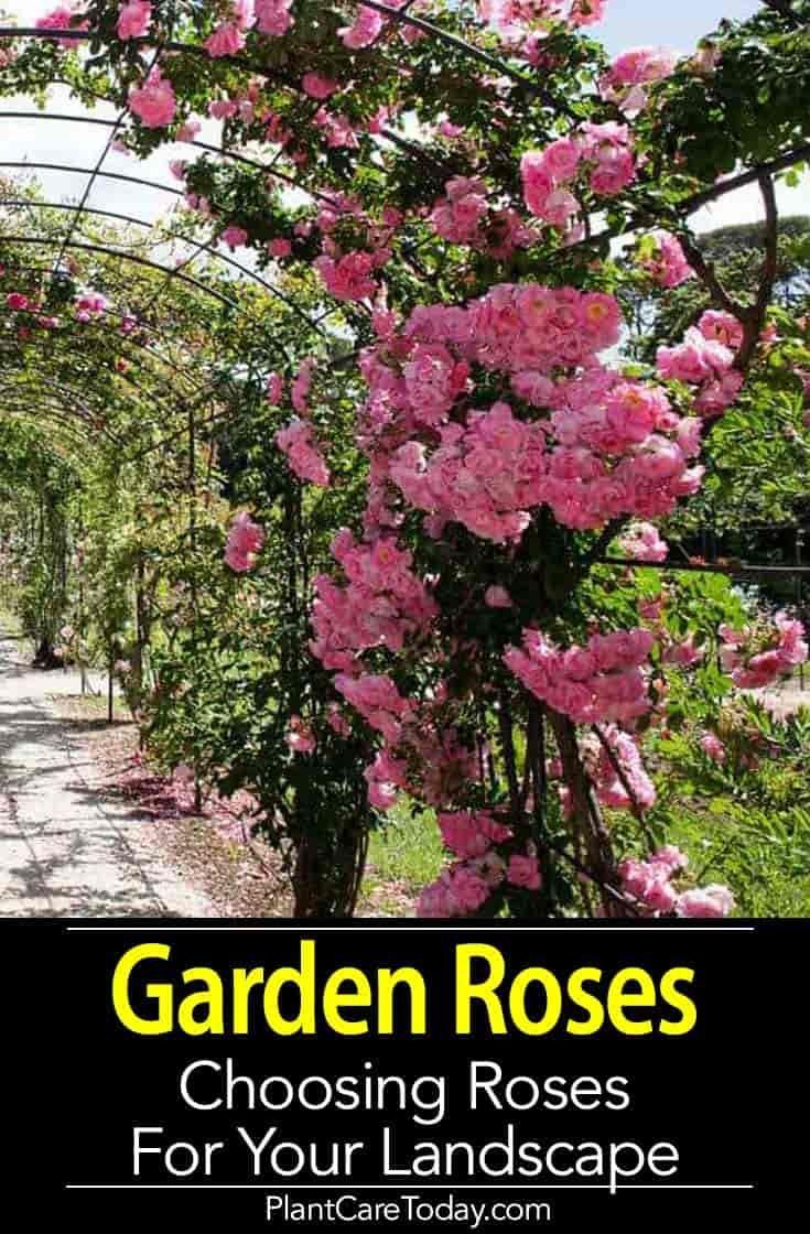Landscaping a rose garden u choosing garden roses for your landscape