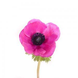 Cerise Anemones Mit Bildern Blumen