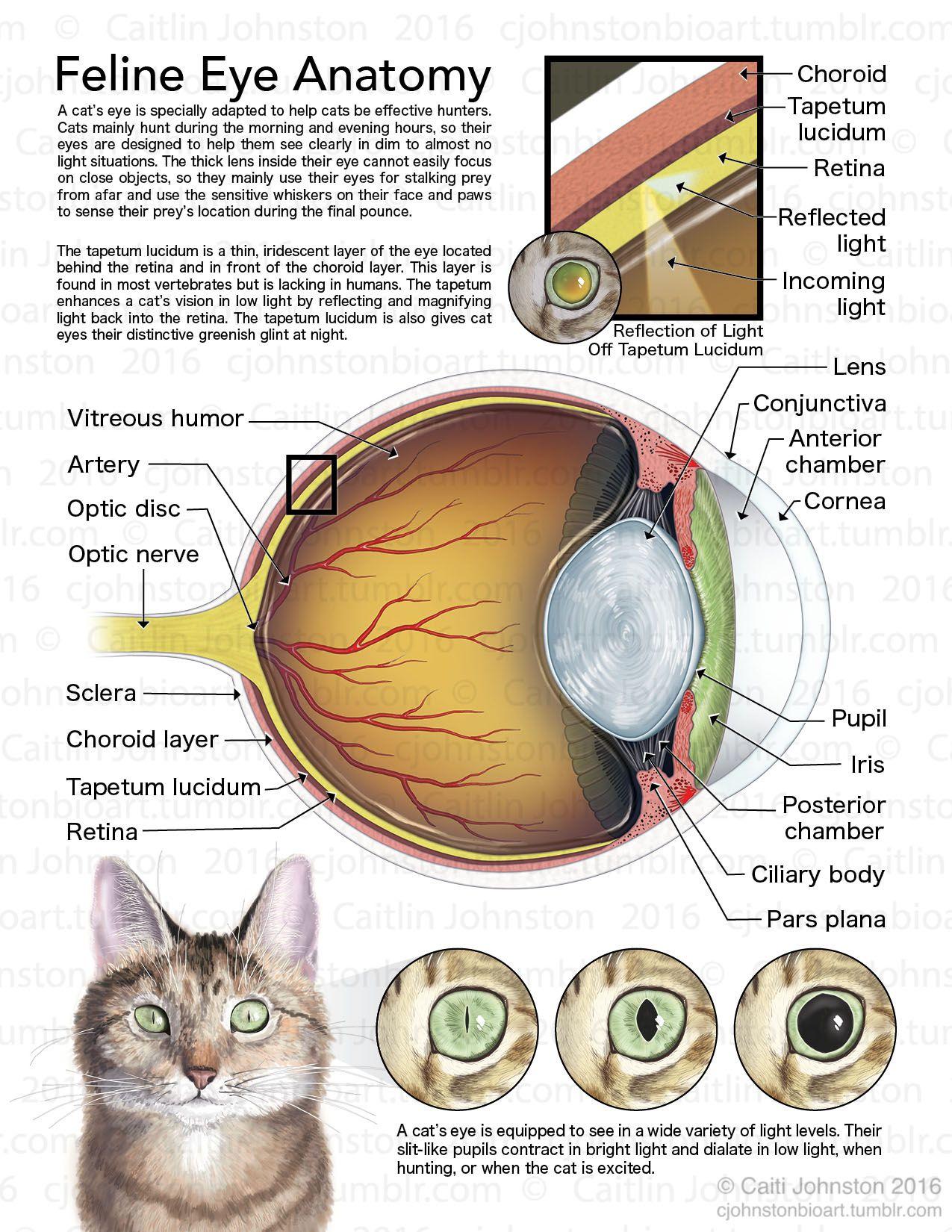 medium resolution of cjohnstonbioart u201c feline eye anatomy 2016 u201d anatom a de rh pinterest com diagram of the outer eye dog brain anatomy diagram