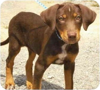 Doberman Pinscher Australian Shepherd Mix Google Search