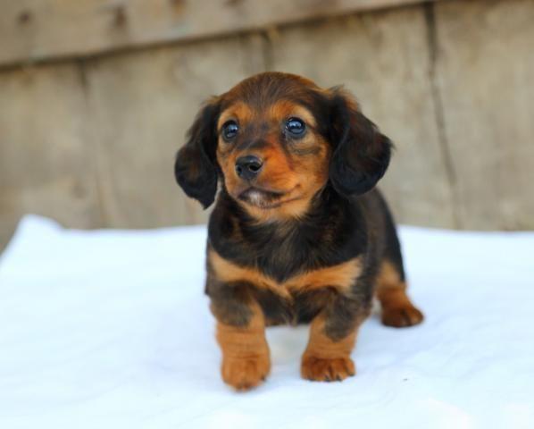 Dachshund Puppy For Sale Dachshund Puppies For Sale Puppies