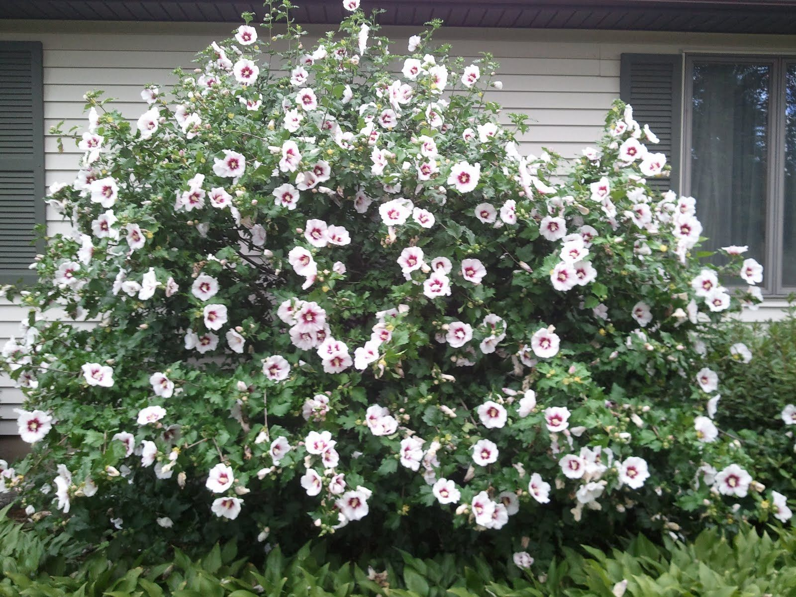 Rose of Sharon Tree My lovely Rose of Sharon bush and my Candi