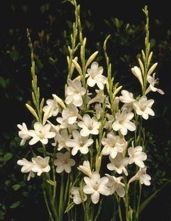 Watsonia 'Snow Queen'