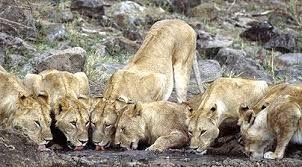 Kenya - Lions