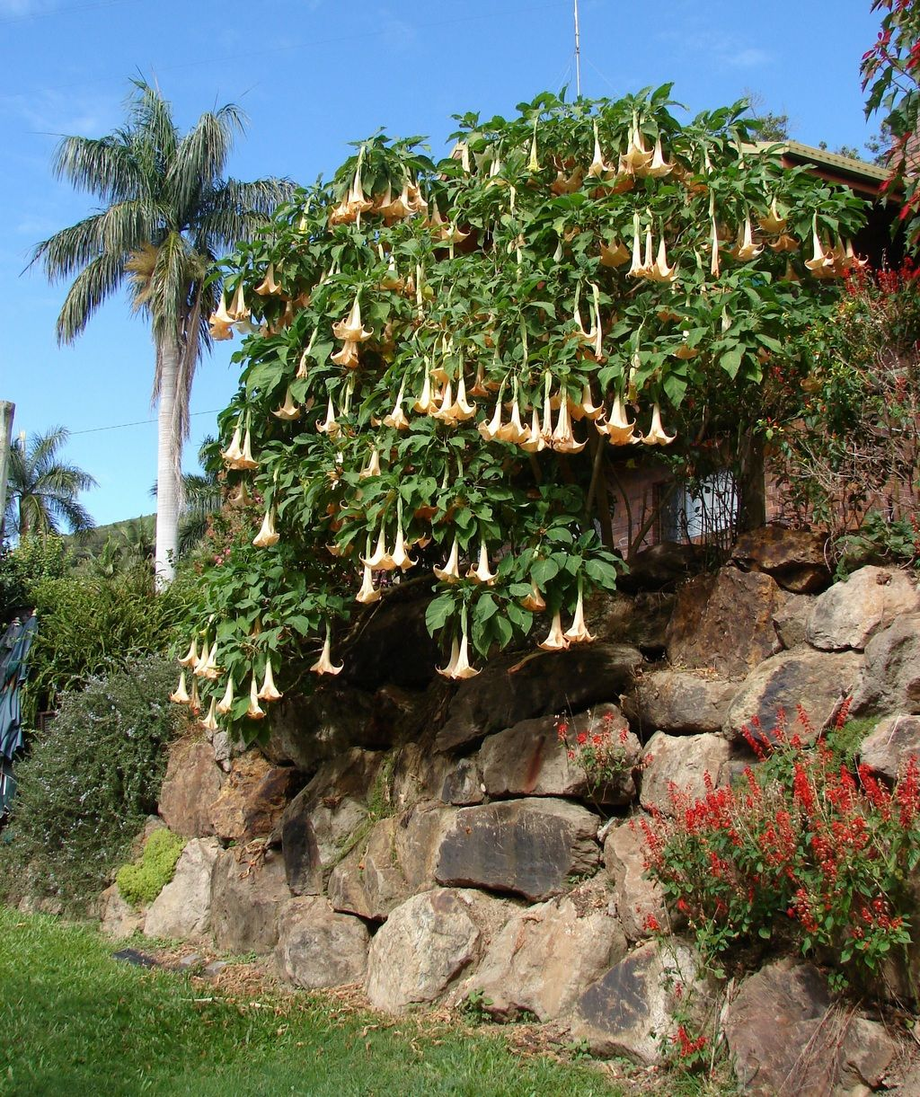iMAGE OF BRUGMANSIA - Google Search