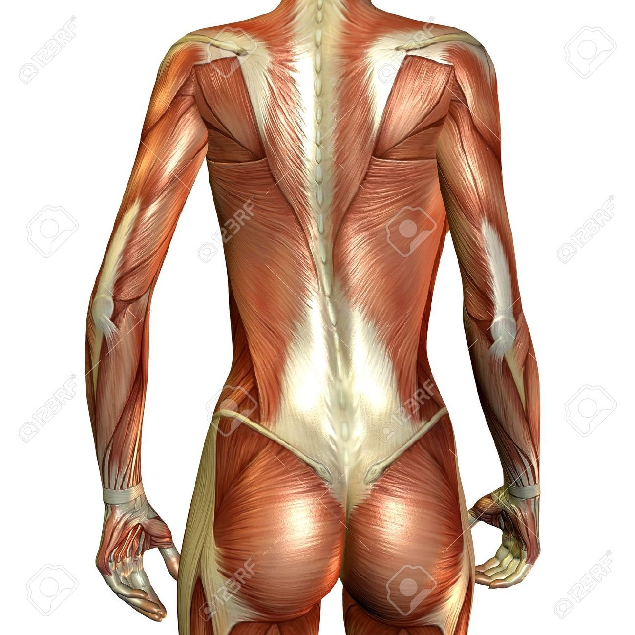 female back muscle diagram - google search | body painting, Muscles