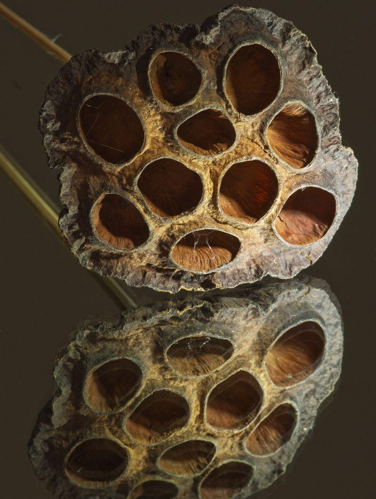 Artpropelled Lotus Flower Seed Pod By Robertadickinson