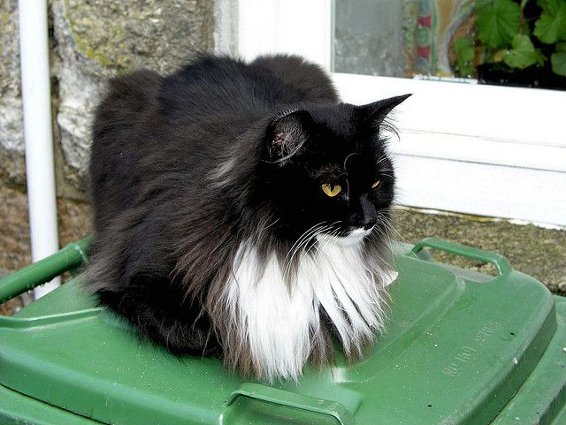 Long Haired Black And White Cat In St Ives Cornwall Cats Pretty Cats Orange Cats