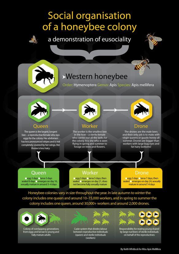 Winter Studies Social Organisation Of A Honeybee Colony And Worker Policing Bee Keeping Bee Social Organization