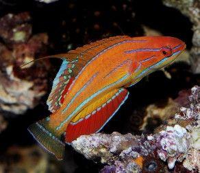 Reef Safe Saltwater Fish Saltwater Reef Safe Wrasses For Sale Online Saltwater Fish Tanks Sea Fish Fish