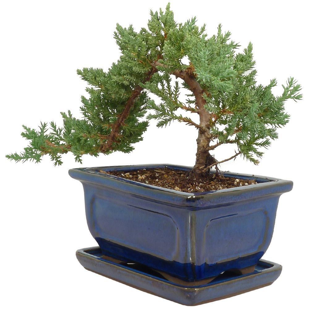 Juniper Bonsai Tree Potted 5120