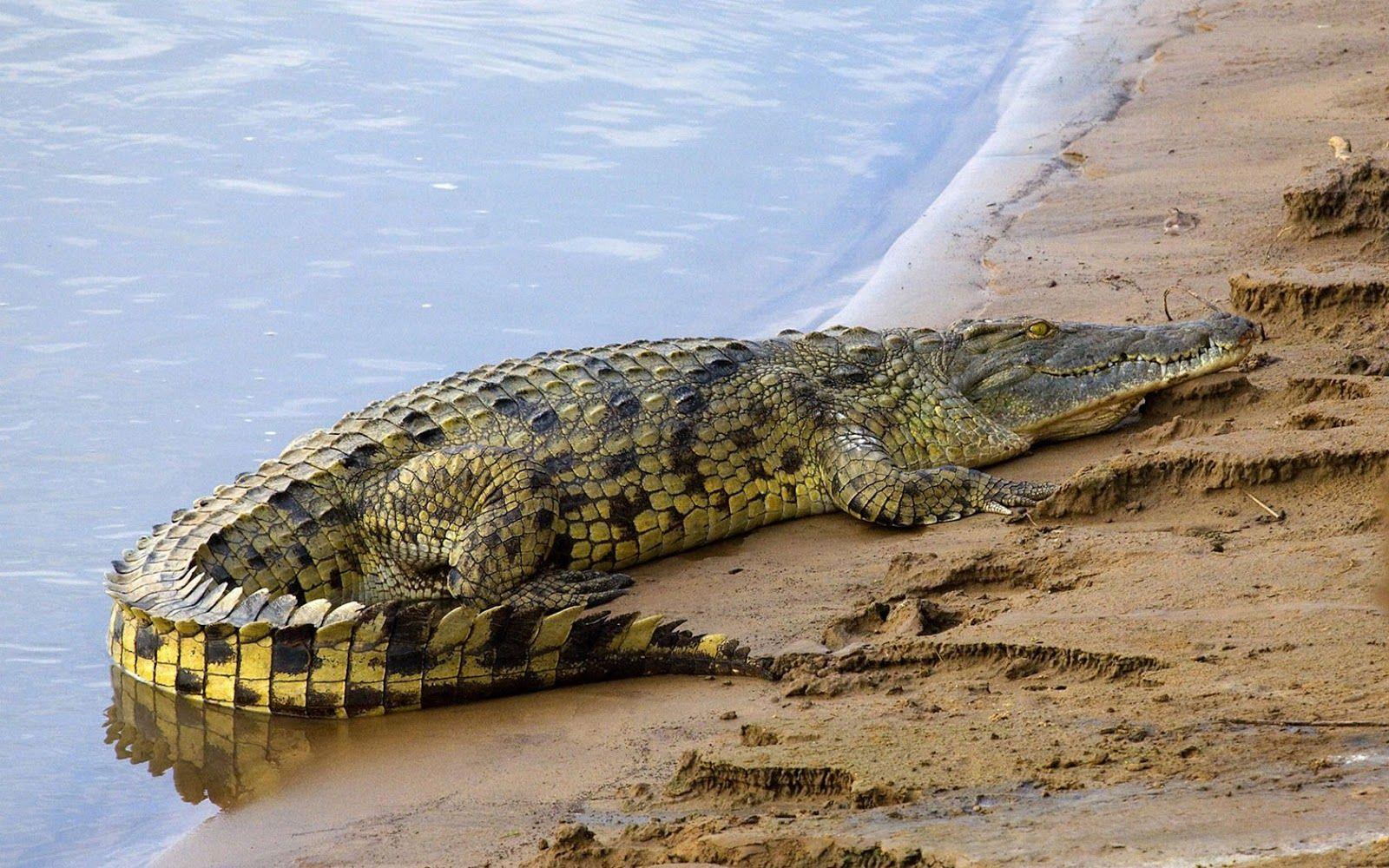 El Cocodrilo del Nilo (fotos , información y vídeos)   ANIMALES DANI ...