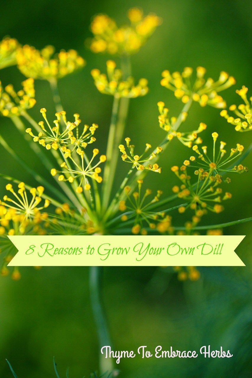 8 Reasons to Grow Your Own Dill-http://thymetoembraceherbs.com