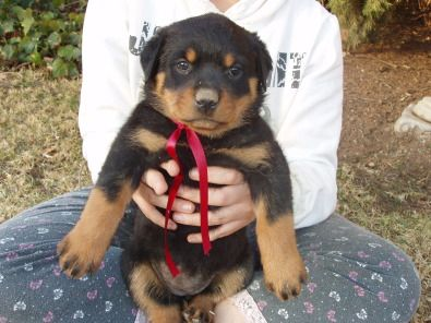 Droll Rottweiler Puppies For Sale Cape Town Gumtree in
