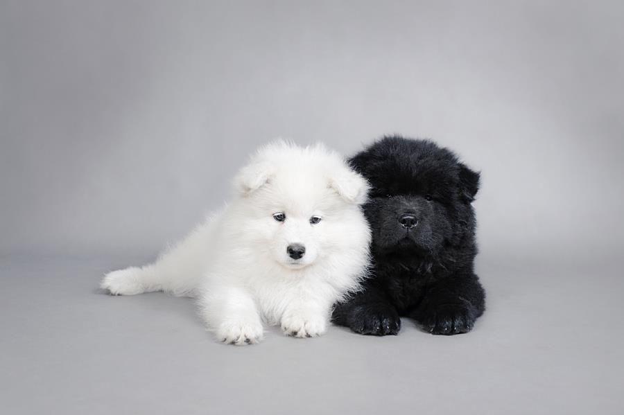 Fantastic Samoyed Chubby Adorable Dog - 16910cf1dabd73d70c6adbef6d997eec  Image_386073  .jpg