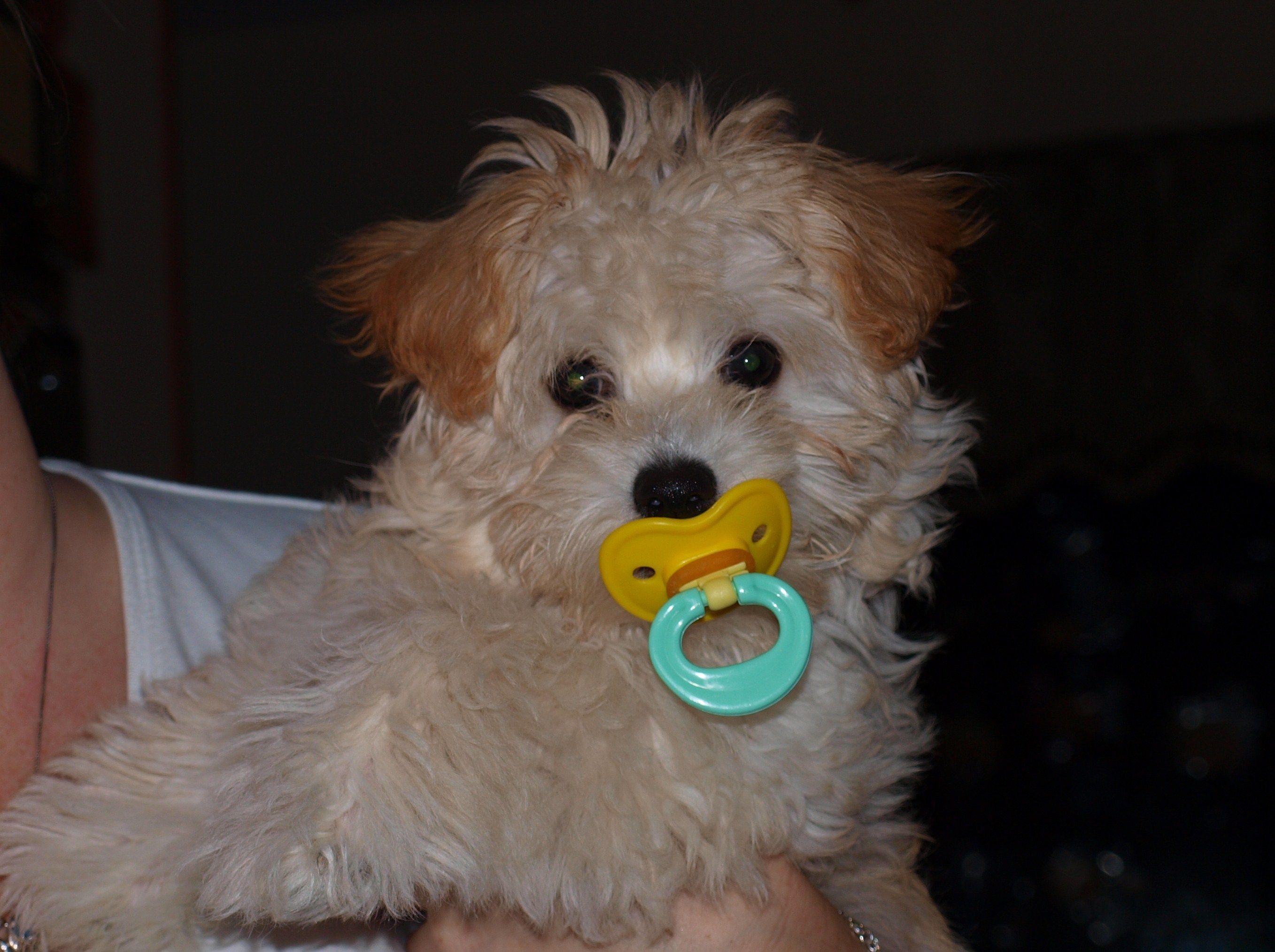 Tessa Maltipoo Maltipoo dog