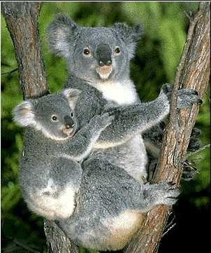 Austrailian Koala Bears