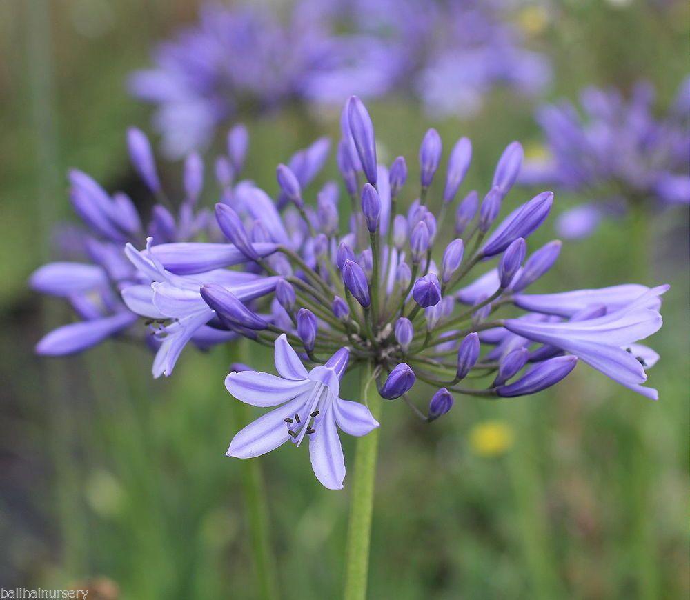 Details About New Agapanthus Mariane Light Blue Flowers Excellent Garden Plant Agapanthus Light Blue Flowers Plants