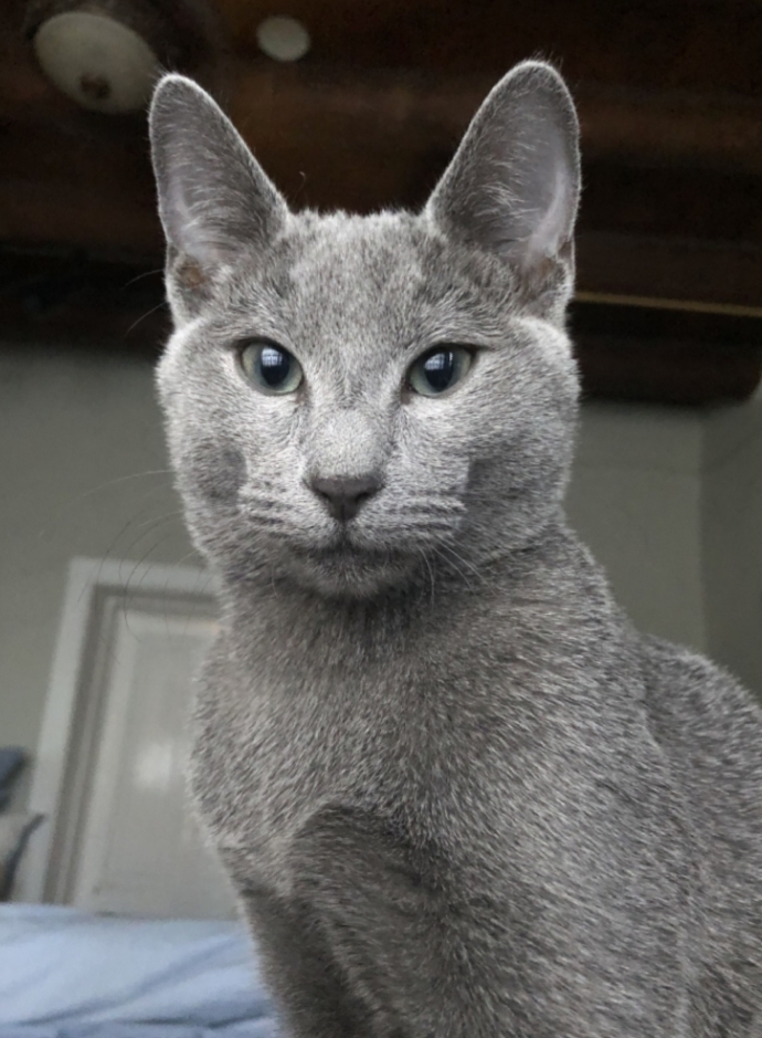 The Most Expensive 10 Cats In The World Page 2 Of 5 Tibmotor In 2020 Russian Blue Cat Blue Cats Russian Blue