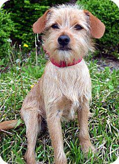 Bridgeton Mo Border Terrier Mix Meet Cinch A Dog For Adoption
