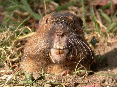 Two Gophers Gopher Groundhog Pictures Getting Rid Of Gophers