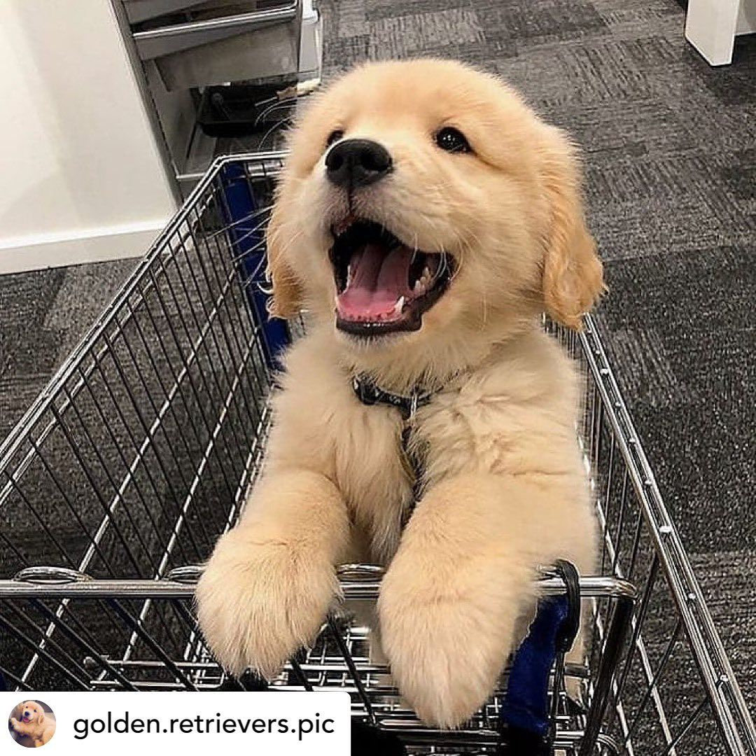 Cheesin Repost Golden Retrievers Pic Goldenretriever Dogs Puppy Instapuppy Puppylove In 2020 Cute Baby Animals Cute Dogs And Puppies Cute Animals
