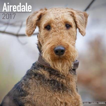 Pin Von Barbara Rathmanner Auf Airedales Dog Hunde Terrier Grosse Hunderassen