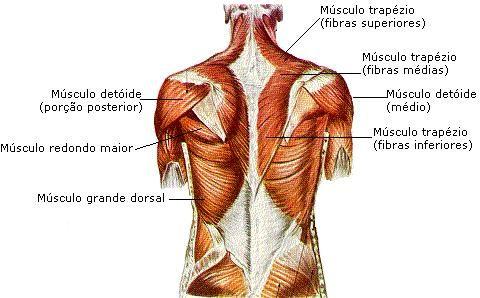 Anatomia humana musculos - Musculos, articulações, ossos e ...