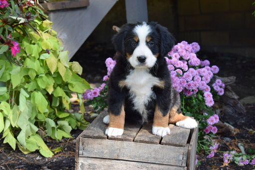 Bernese Mountain Dog Puppy For Sale In Fredericksburg Oh Adn 49263 On Puppyfinder Com Gender Female Puppies For Sale Bernese Mountain Dog