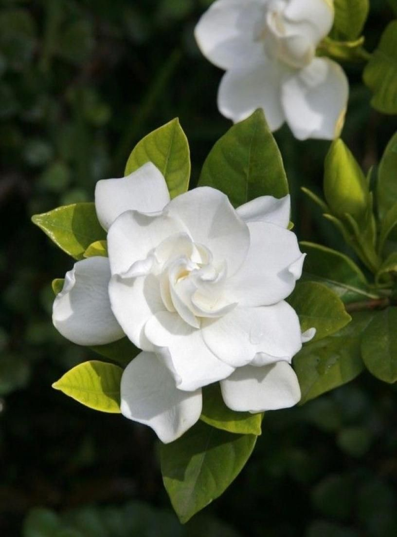 What Smells Better Then A Gardenia Bloom They Make The Whole Room