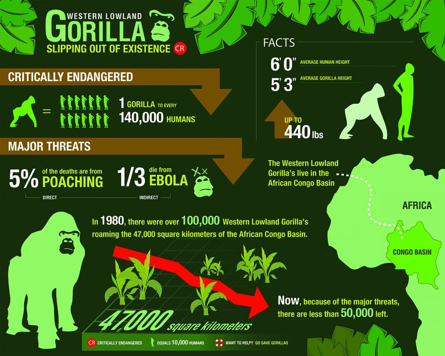 western lowland gorillas slipping out of existence get full