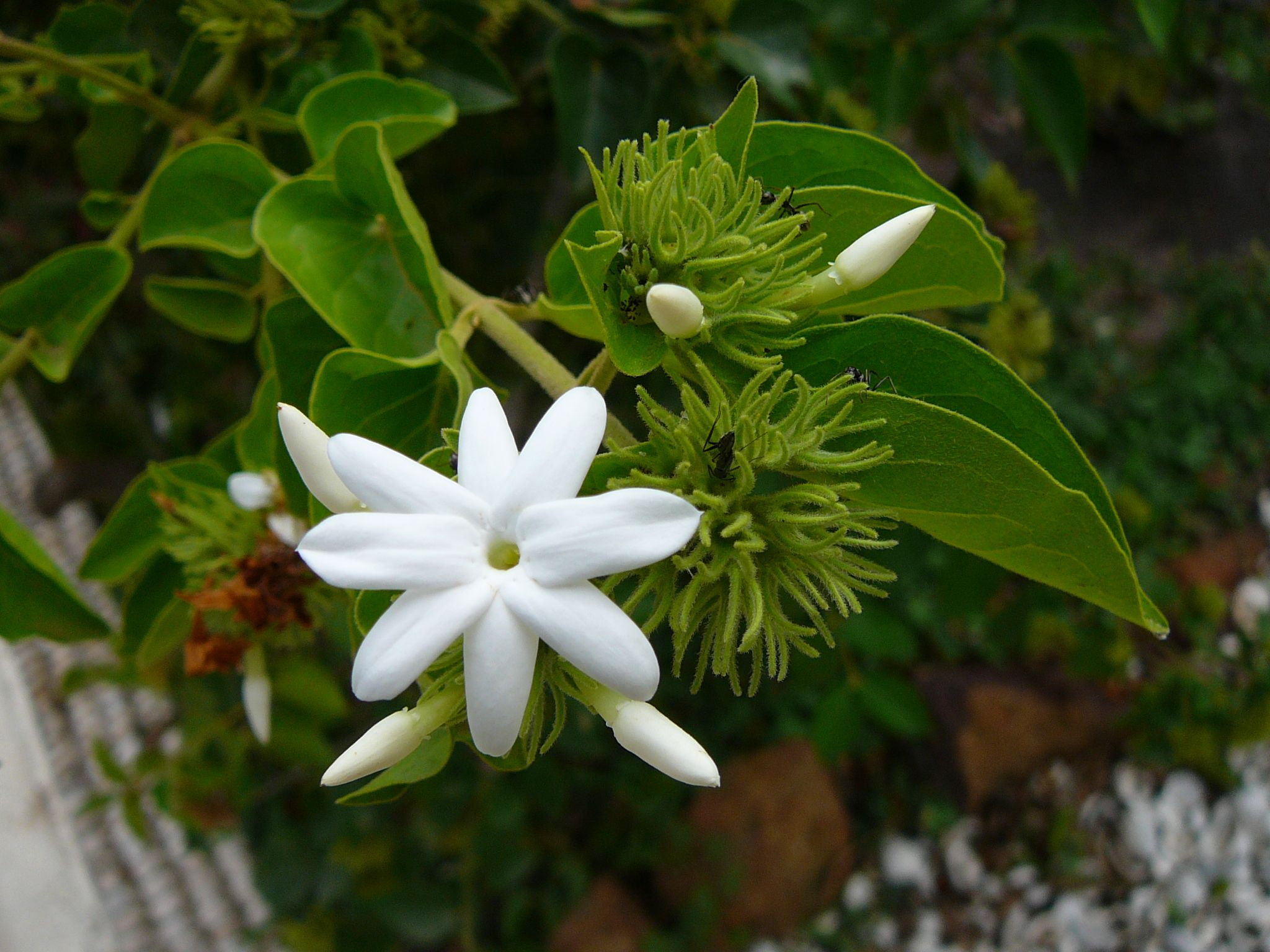 Beautiful flowers 2019 jasmine flower types beautiful flowers jasmine flower types various pictures of the most beautiful flowers can be found here find and download the prettiest flowers ornamental plants izmirmasajfo
