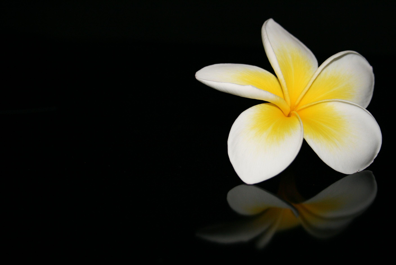 Frangipani Plumeria Logo Flower Image Frangipani Parts Of A Flower Flower Photos