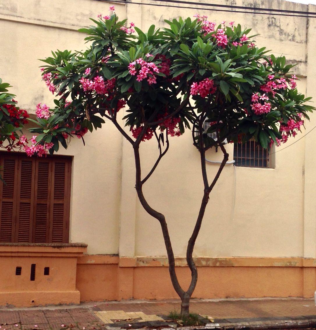 Jazm n magno rosa asunci n paraguay flores del paraguay - Caesalpinia gilliesii cultivo ...