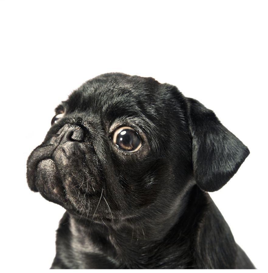 Black pug blank card available at wwwilovepugscouk post