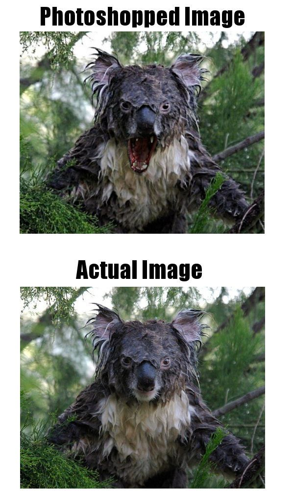this is no angry koala koalas dont have fangs the