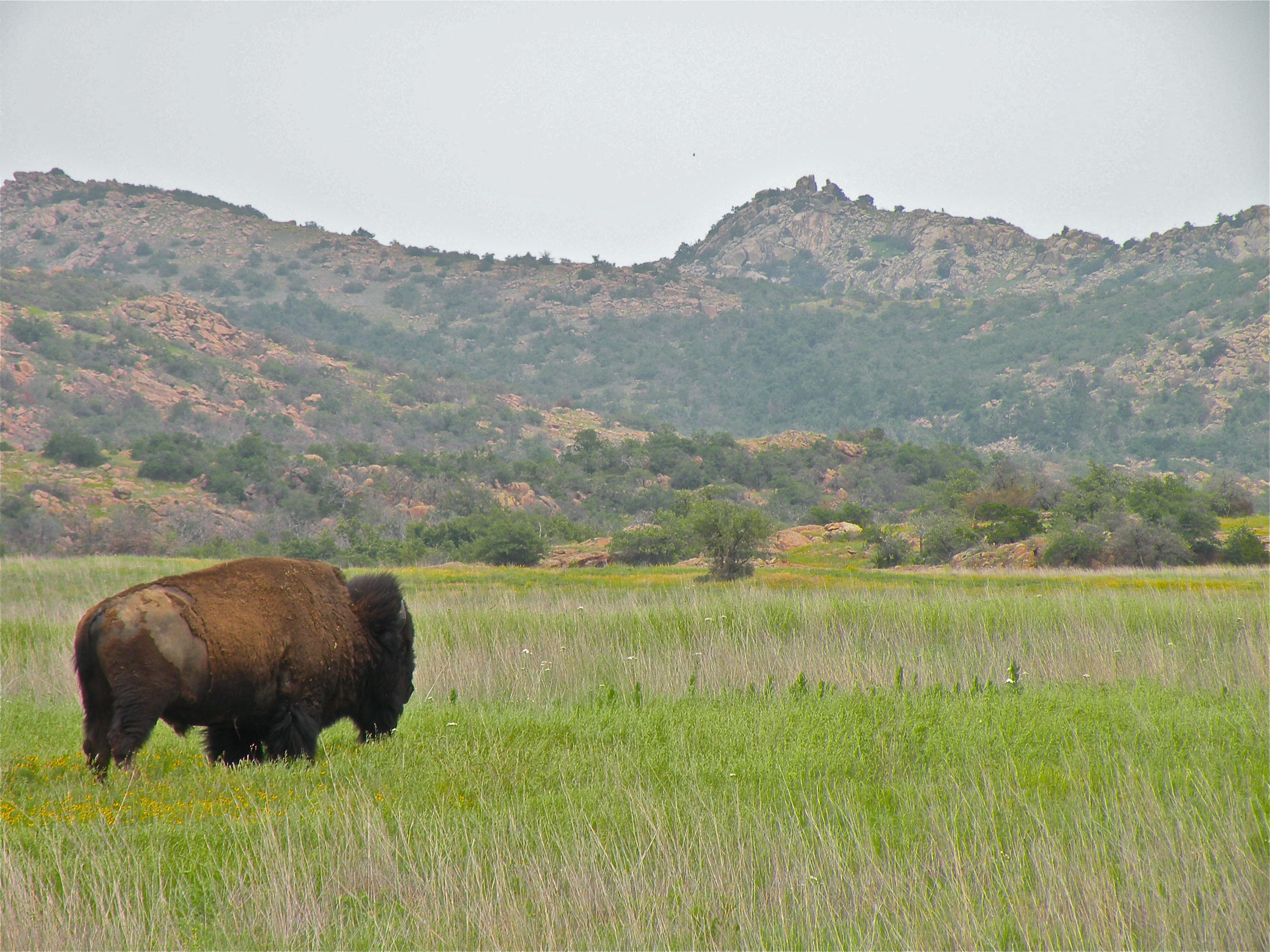 Wichita Mountains National Wildlife Refuge, near Lawton, Oklahoma Buffalo and Longhorn Cattle roam free kristin nador writes anywhere blog