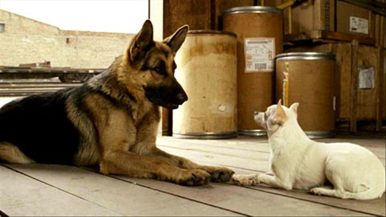 2008 beverly hills chihuahua movie with images beverly