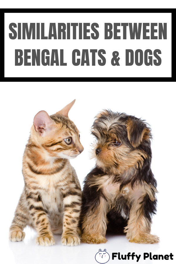 Is a Bengal Cat Like a Dog? [ 2020 ] Bengal cat, Bengal