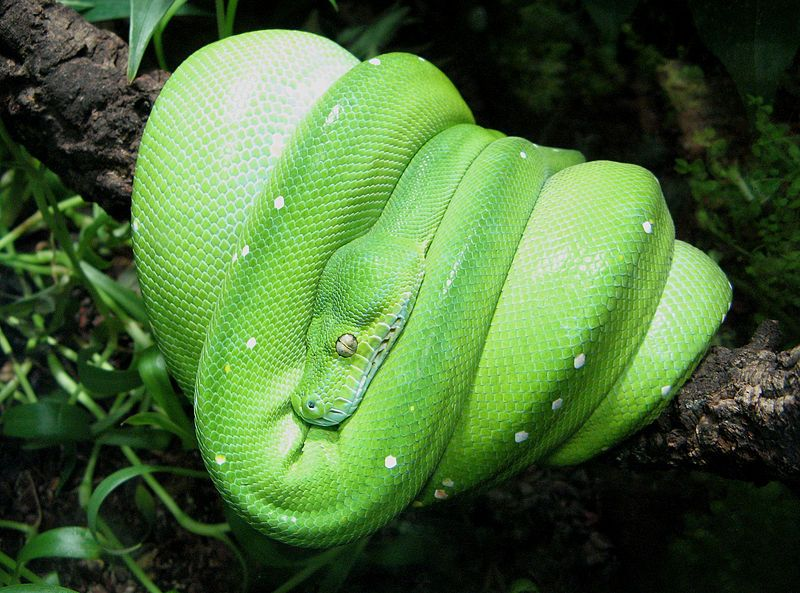 Green Tree Python Pet Snake Snake Pythons For Sale
