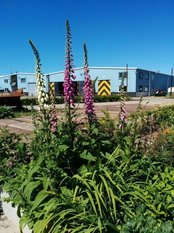 Foxgloves and other plants in the station garden at the Nationaal Smalspoormuseum in Katwijk, The Netherlands.
