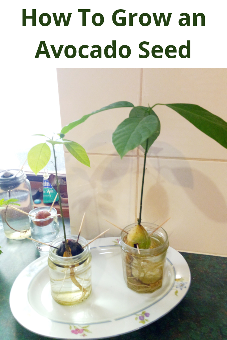 How To Grow An Avocado Seed Step By Step Guide Growing Avocado Seeds Is Easy Once You Know How But It Doe Grow Avocado Avocado Seed Growing Avocado Seed