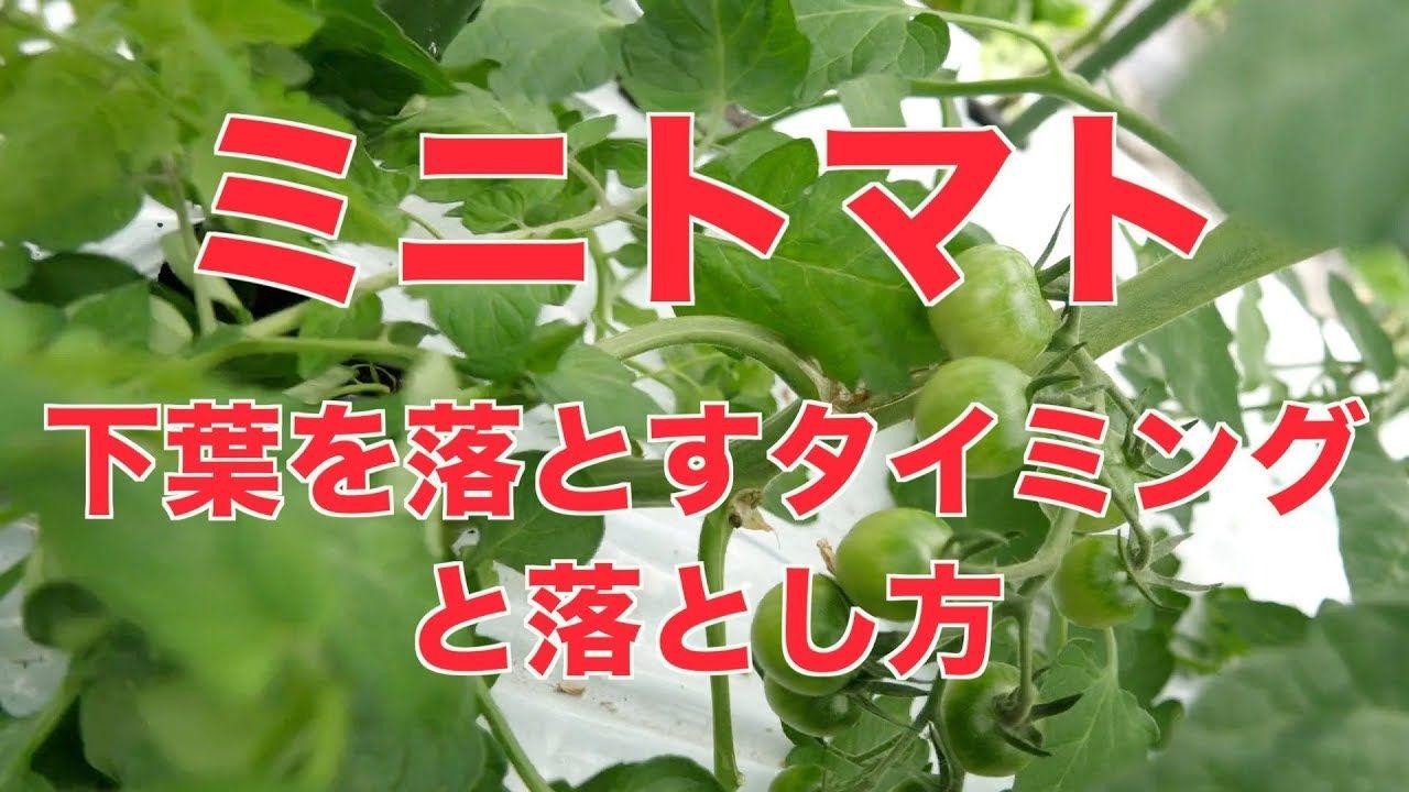 6 14 ミニトマトの下葉を落とすタイミング 403 Youtube 2020