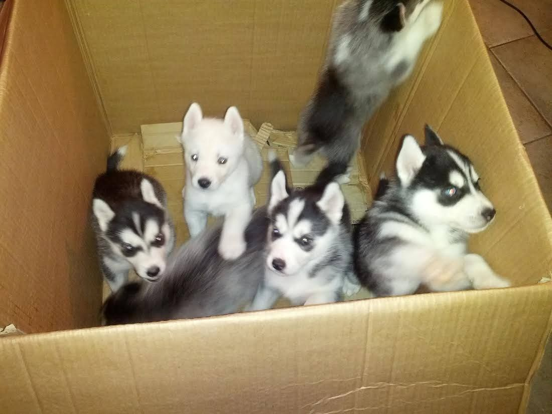 5 Beautiful Siberian Husky Puppies For Sale We Have 5 Outstanding Pups To Choose From Boys And Girls Black Siberian Husky Siberian Husky Puppies Husky