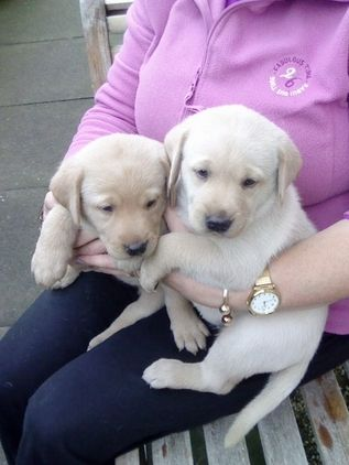 Kc Reg Labrador Pups Couple Of Cuties Right Here Labrador Puppies Puppies For Sale