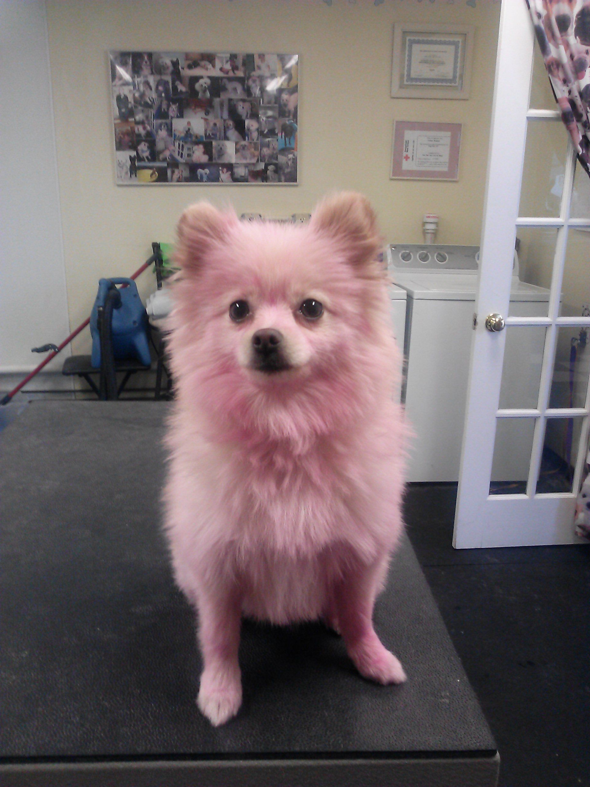Pink Pomeranian - I used hair color for dogs...faded in a few days ...