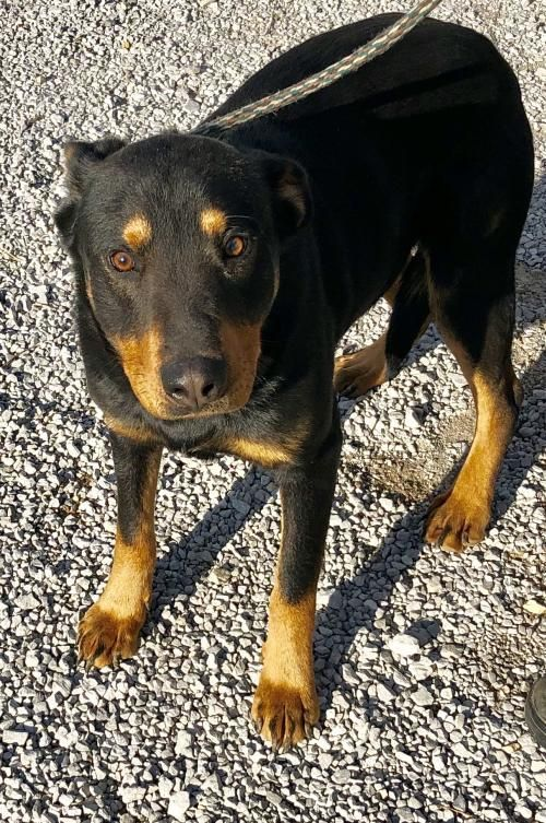 Adopt Kennel 06 On Rottweiler Mix Adoption Rottweiler