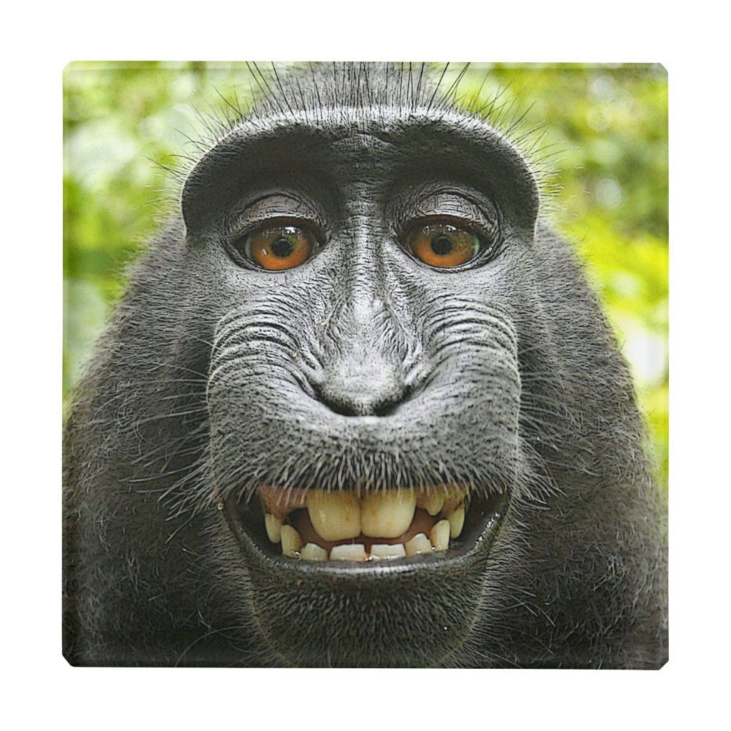 Smiling Celebes Macaque Monkey Glass Coaster Zazzle Com In 2021 Monkeys Funny Fall Out Boy Memes Funny Animals