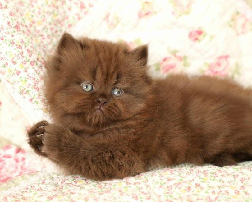 Chocolate Persian Kitten Persian Kittens Persian Cats For Sale Cat Adoption