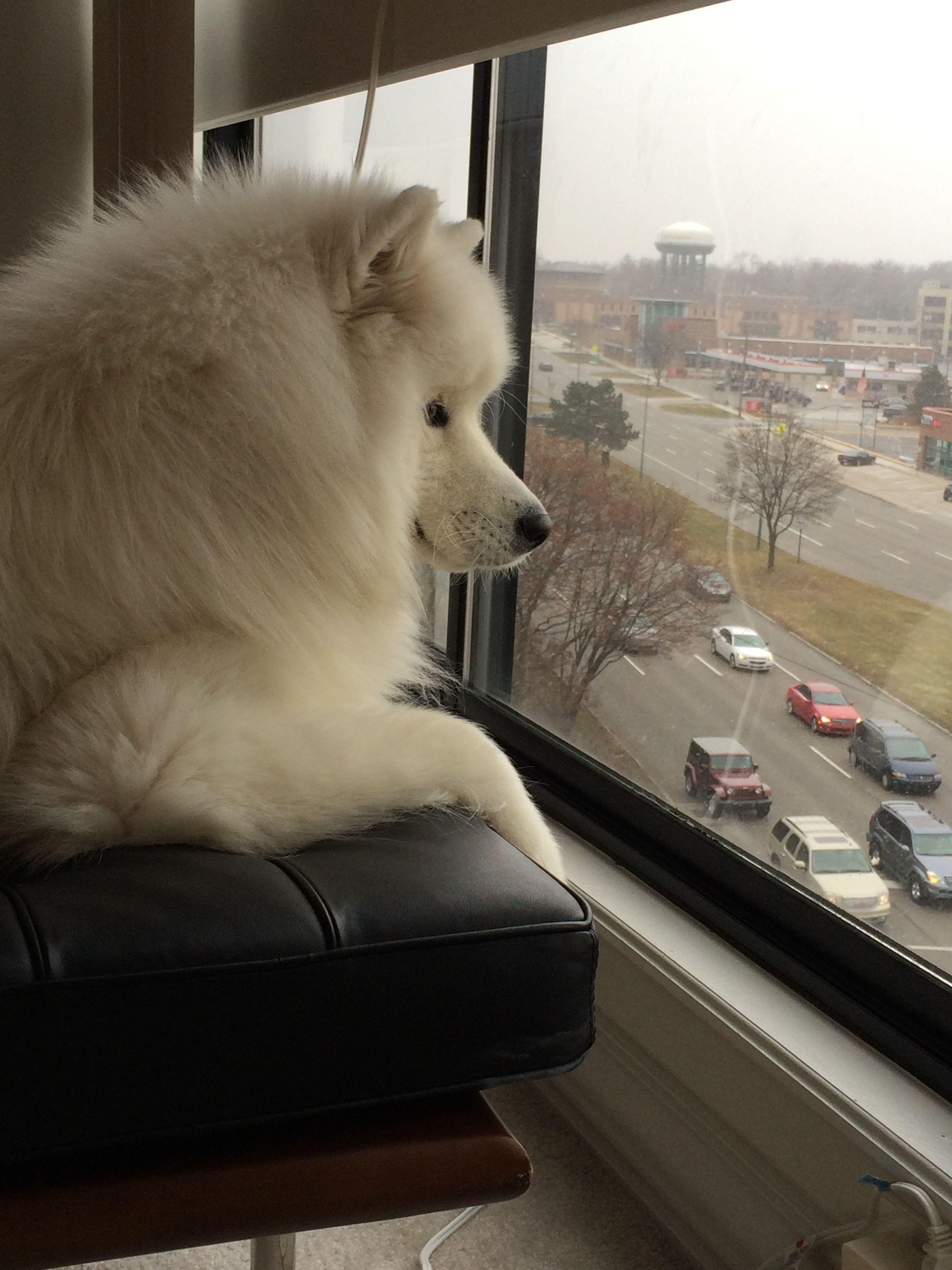 The Urban Samoyed Apartment Puppy Polar Bear Dogs Bold 2 Puppies